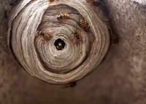 Wespenbestrijding Oosterhout