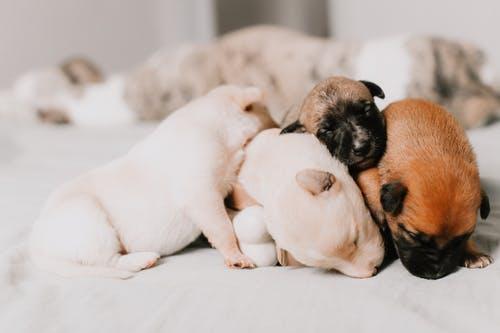 Chihuahua puppy kopen